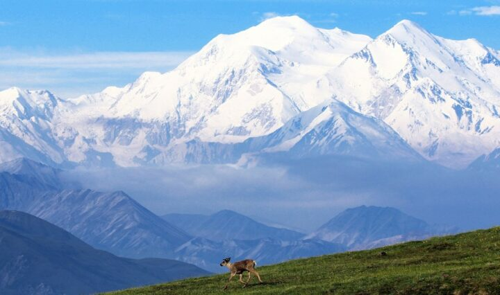 A juvenile Caribou alone walking in front of the might of Denali